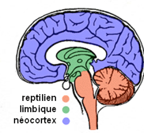 3 cerveaux.png